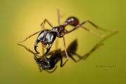 Dorylus mayri - Ivory Coast-7