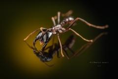 Dorylus mayri - Ivory Coast-8