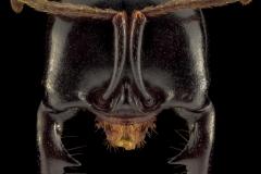 Dorylus mayri - Ivory Coast-6
