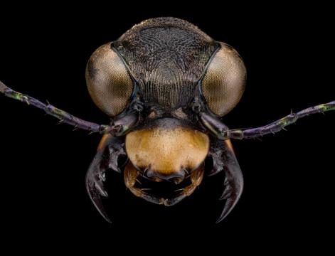 Dromica-alboclavata-6Dokhtouroff-1883