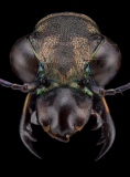 Dromica-marginella-6Boheman-1848
