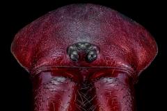 Woodlouse Spider [Dysdera crocata]-3