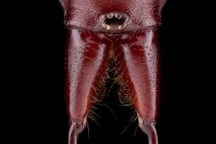 Woodlouse-spider-Dysdera-crocata-UK