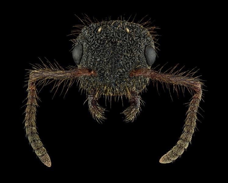 Echinopla-sp.-Malaysia