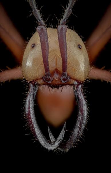 Eciton-hamatum-Ecuador-2