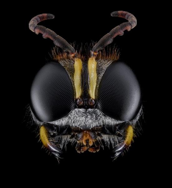 Ectemnius-sexcinctus-UK-2