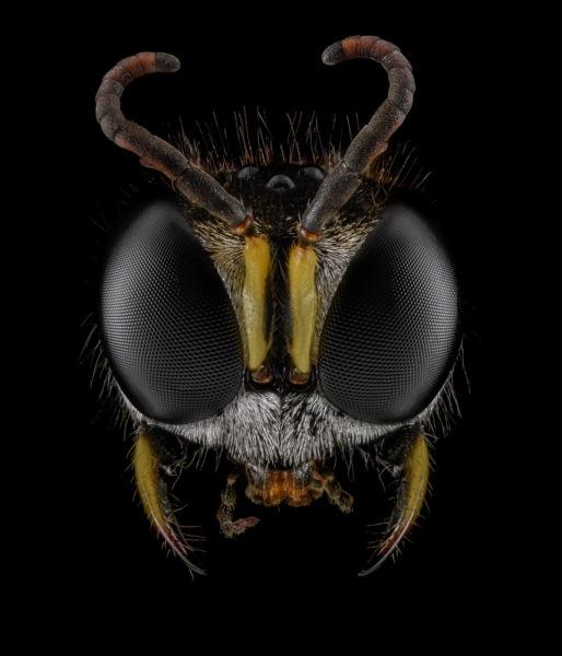 Ectemnius-sexcinctus-UK