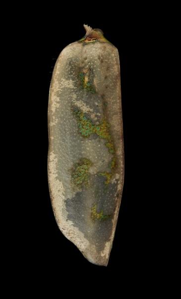 Ellipsoptera-lepida-Minnesota-2