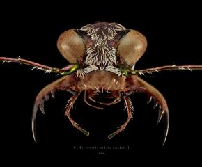 Ellisoptera hamata lacerate - FLorida-2