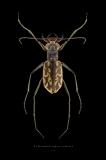 Ellisoptera hamata lacerate - FLorida-3