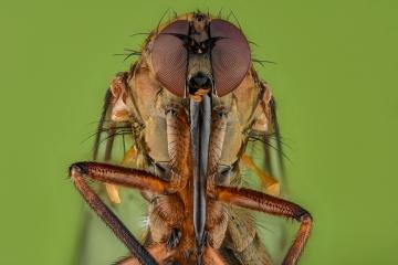dagger fly [Empididae]-2