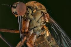 dagger fly [Empididae]