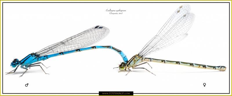 Enallagma-cyathigerum-mfCharpentier-1840