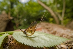 mayfly [Ephemeroptera]-2