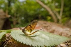 mayfly [Ephemeroptera]-3