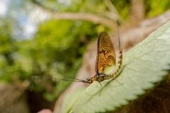 mayfly [Ephemeroptera]-4