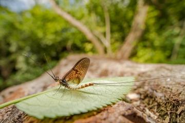 mayfly [Ephemeroptera]-7