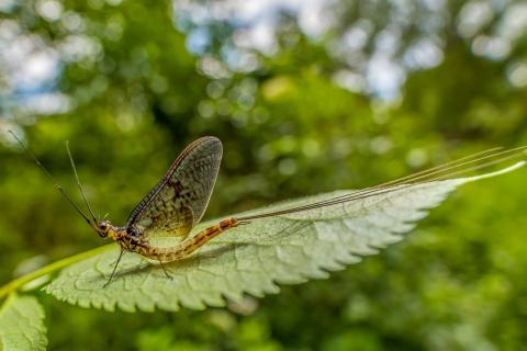 mayfly [Ephemeroptera]