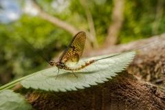 mayfly [Ephemeroptera]-5