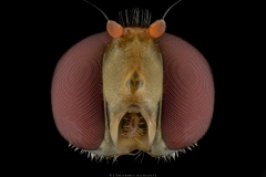 Marmalade-Hoverfly-Episyrphus-balteatus-UK