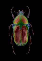 Euchilia-puncticollis-Madagascar-1