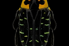 Euchroea-coelestis-Madagascar