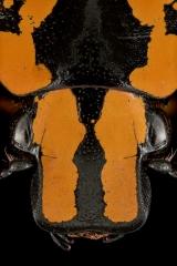 Euchroea-vadoni-Madagascar-2