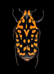 Euchroea-vadoni-Madagascar