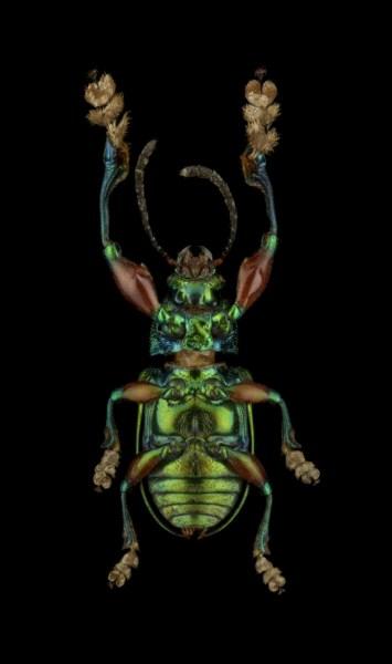 Eumolpinae-sp.-Madagascar-2