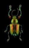 Eumolpinae-sp.-Madagascar