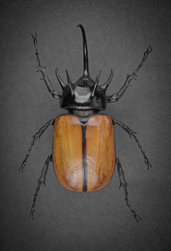 five-horned rhinoceros beetle [Eupatorus gracilicornis] - Thailand