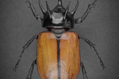 five-horned rhinoceros beetle [Eupatorus gracilicornis] - Thailand