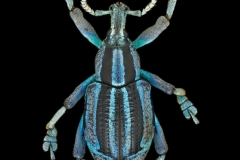 weevil-Eupholus-bennetti-Gestro-Papua-New-Guinea-2