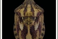 Eurygaster-testudinaria-Geoffroy-1785