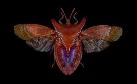 Eurypleura-bicornis-Thailand-2