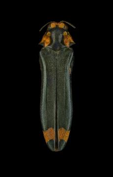 Evimantius-rufopictus-Madagascar-Deyrolle-1864