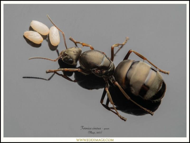 Formica-cinerea-queen-1-Mayr-1853