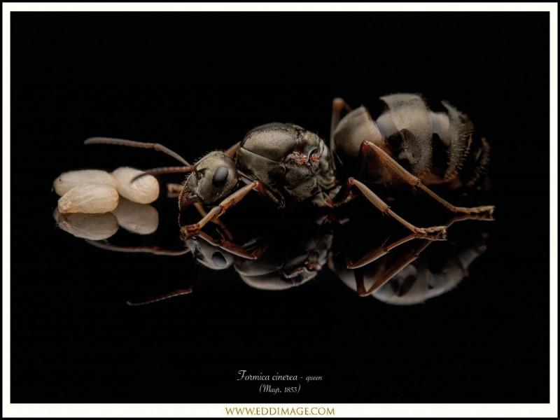 Formica-cinerea-queen-2-Mayr-1853