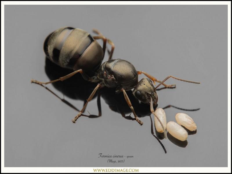 Formica-cinerea-queen-3-Mayr-1853