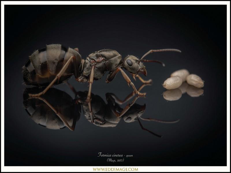 Formica-cinerea-queen-5-Mayr-1853