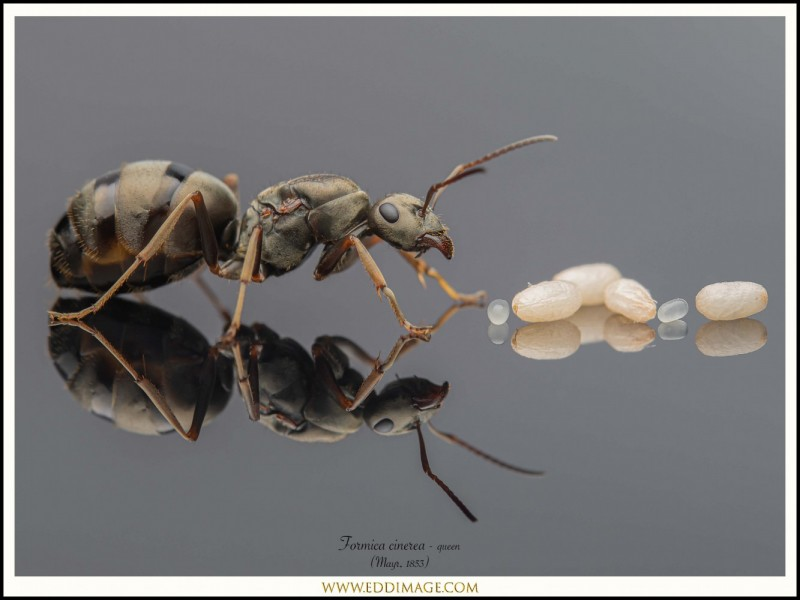 Formica-cinerea-queen-6-Mayr-1853