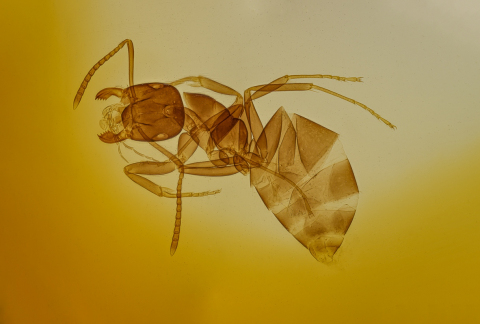 Formica-rufa-worker-microscope-glass-2