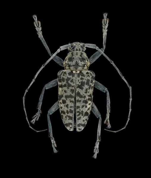 Frea-sparsa-Madagascar