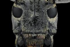 Frea-sparsa-Madagascar-2