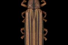Xiphispa coquereli - Madagascar
