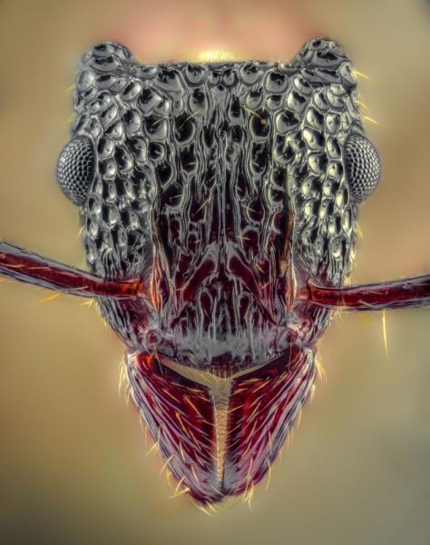 Gnamptogenys bicolor - Myanmar-2