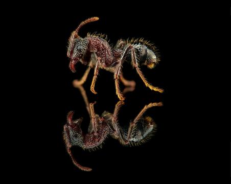 Gnamptogenys bicolor - Myanmar