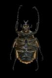 Goliath beetle [Goliathus orientalis] Tanzania-2