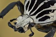 Goliath beetle [Goliathus orientalis] Tanzania-3