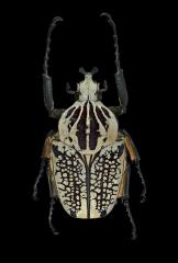 Goliath beetle [Goliathus orientalis] Tanzania